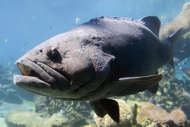 """Las especies de escama marina han sido la principal alternativa de pesca de gran importancia para los estados del litoral del Golfo de México y mar Caribe, destacando las del recurso conocido como """"mero"""" o """"cherna""""."""