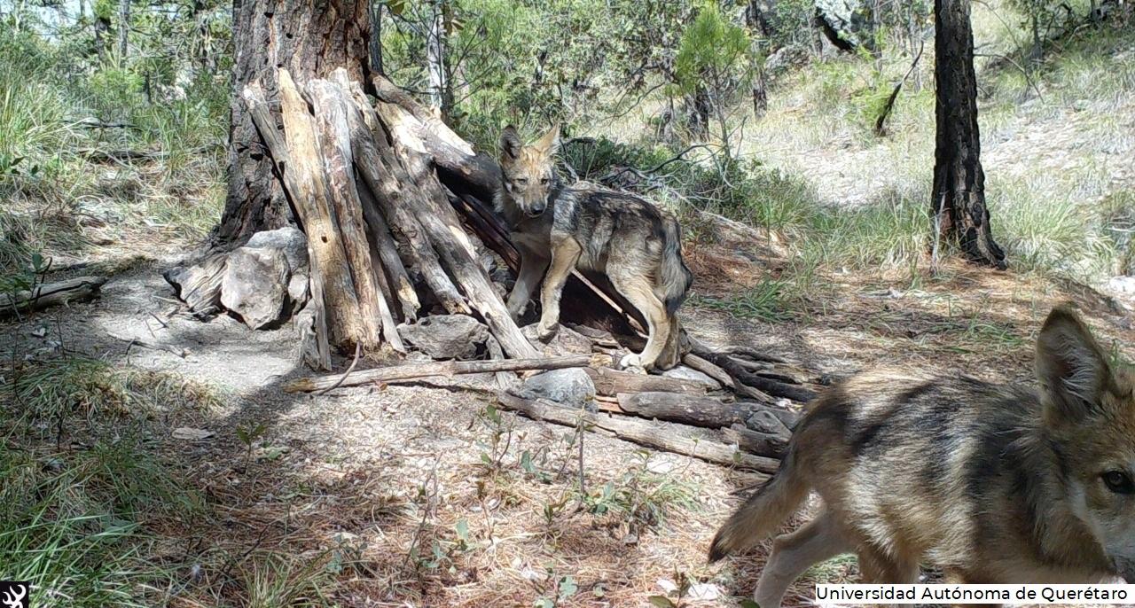 Las cámaras trampa instaladas muestran a dos lobeznos, resultado de la pareja formada por una hembra nacida en vida libre en 2015 y un macho liberado en 2018