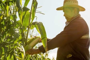 Productor de maíz inspeccionando el cultivo.