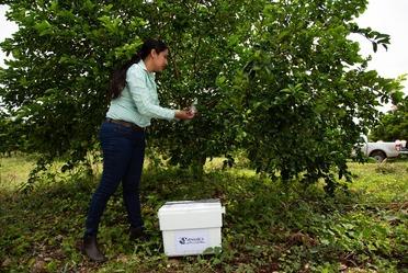 Personal del Senasica inspeccionando arboles frutales.