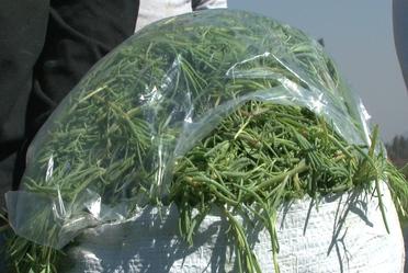 Alistan productores abastecimiento de romeritos