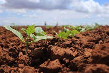 Apoyará la Secretaría de Agricultura a los productores de Durango y Zacatecas con semilla certificada de frijol.