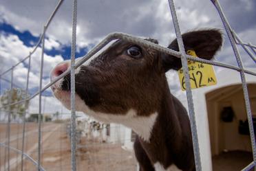 Calabaza chihua, opción de alimento para ganado en sequía.