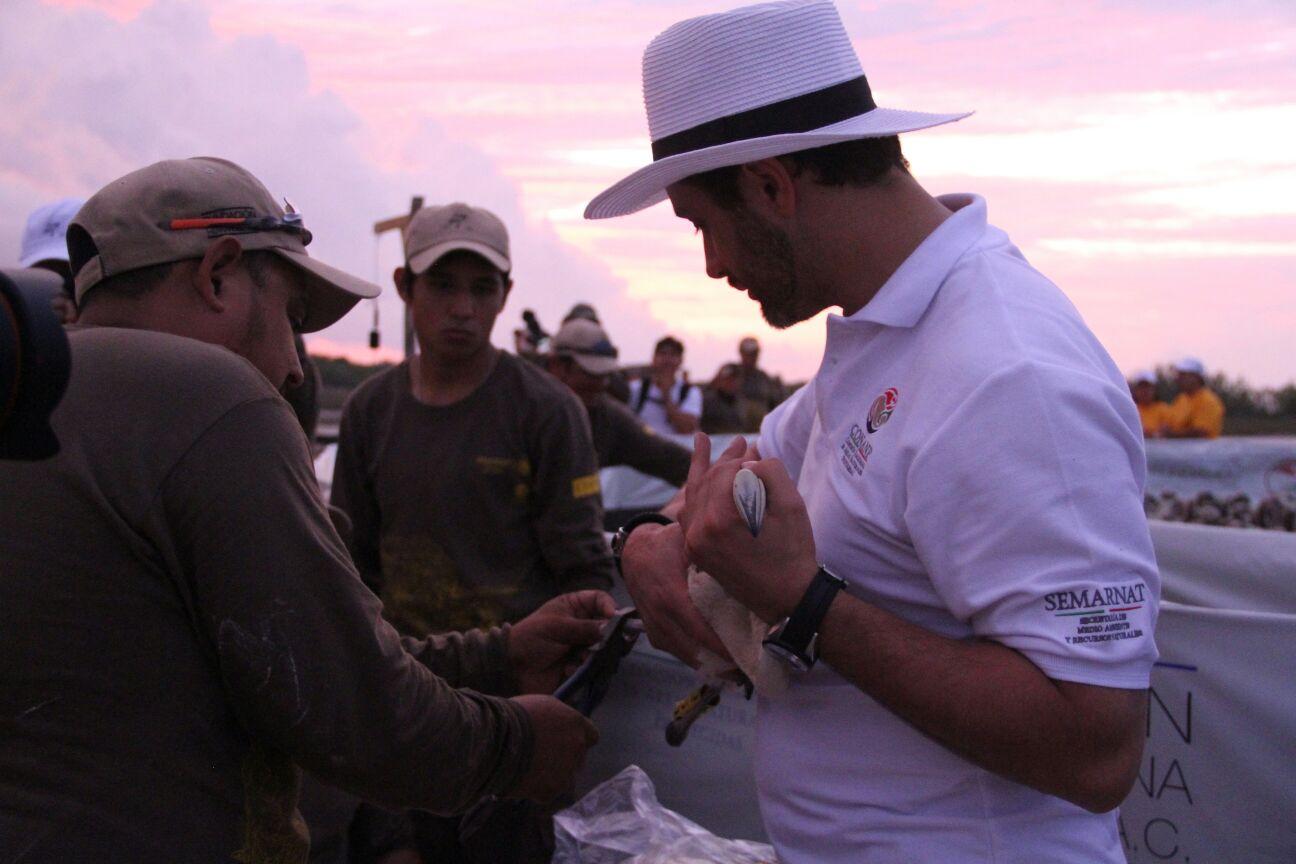 El Comisionado Nacional de A reas Naturales Protegidas  Alejandro Del Mazo Maza  participo  en la colocacio n de 407 anillos de identificacio n a flamencos rosados en Yucata n.jpg