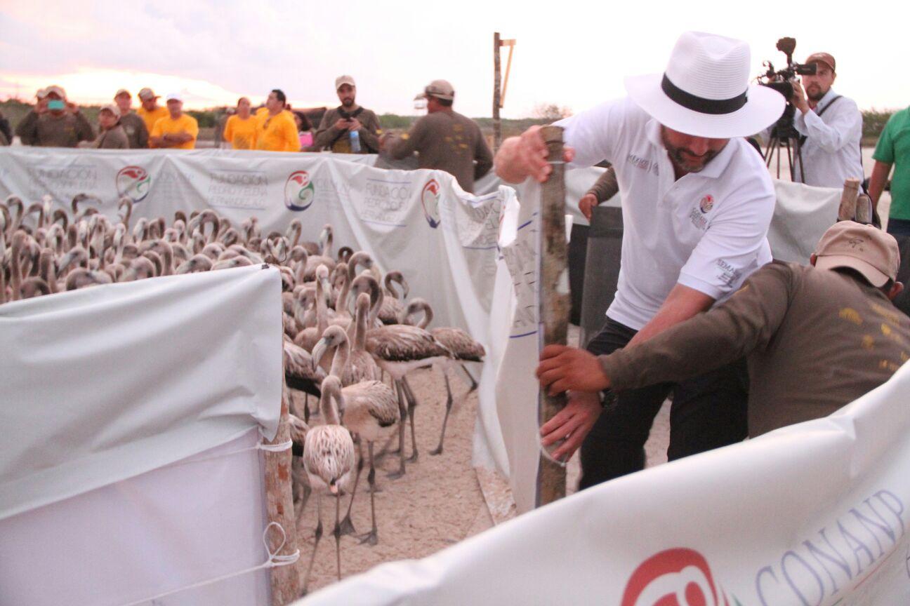 La CONANP  a trave s de las Reservas de la Biosfera Ri a Lagartos  Los Petenes y Ri a Celestu n llevo  a cabo el anillamiento de ma s de 400 polluelos de flamenco.jpg