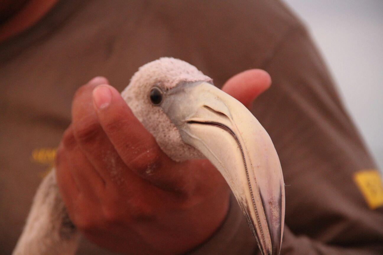 Los flamencos son aves que requieren un ha bitat con suelo fangoso  aguas salobres y poco profundas  donde encuentran el alimento que da la coloracio n rosada a su plumaje.jpg