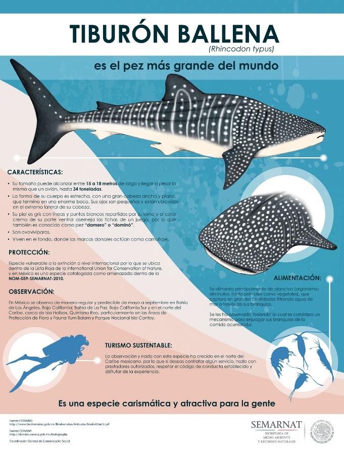 Resultado de imagen para tiburon ballena