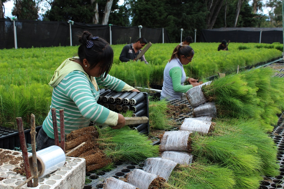 Sube 15 la producci n de planta forestal de conafor for Viveros forestales conafor