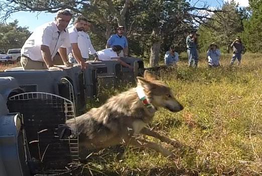 Rehabilitación Del Lobo Gris En Proceso: El Regreso Del Lobo Mexicano