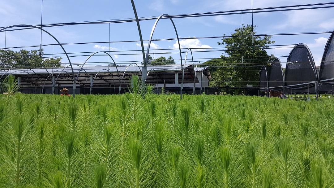 Producir conafor 1 5 millones de planta para reforestar for Viveros forestales conafor