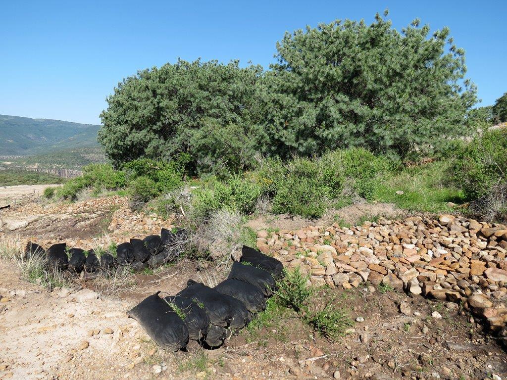 Protege CONAFOR 360 hectáreas de pino azul en Zacatecas