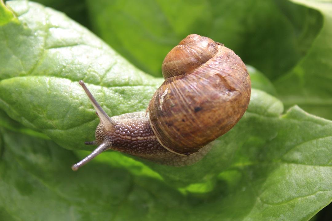 Apoya conafor proyecto de producci n de caracol en edomex for Caracol de jardin