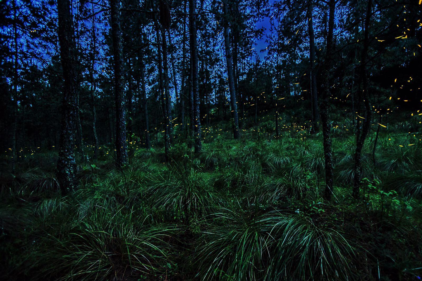 Ilumina tus vacaciones en el santuario de las luci rnagas Espectaculo de luciernagas en tlaxcala