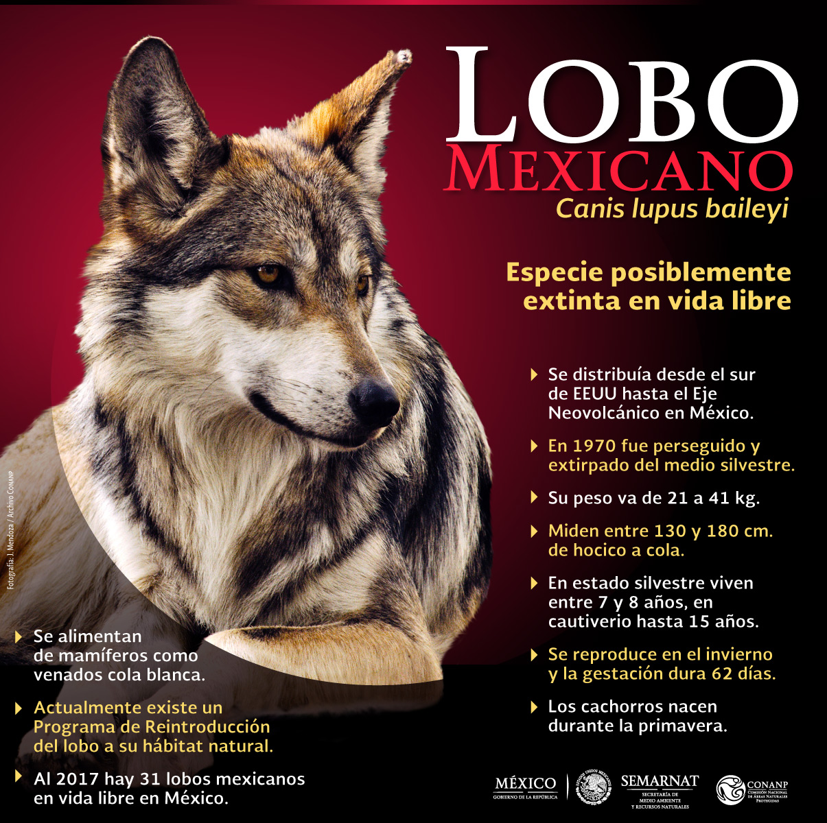 /cms/uploads/image/file/297116/INFOGRAF_A_LOBO_MEXICANO.jpg