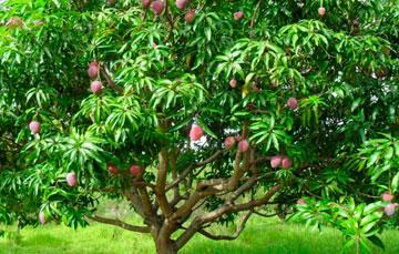 Sabes c mo se clasifican los rboles frutales for Viveros de arboles frutales en chihuahua