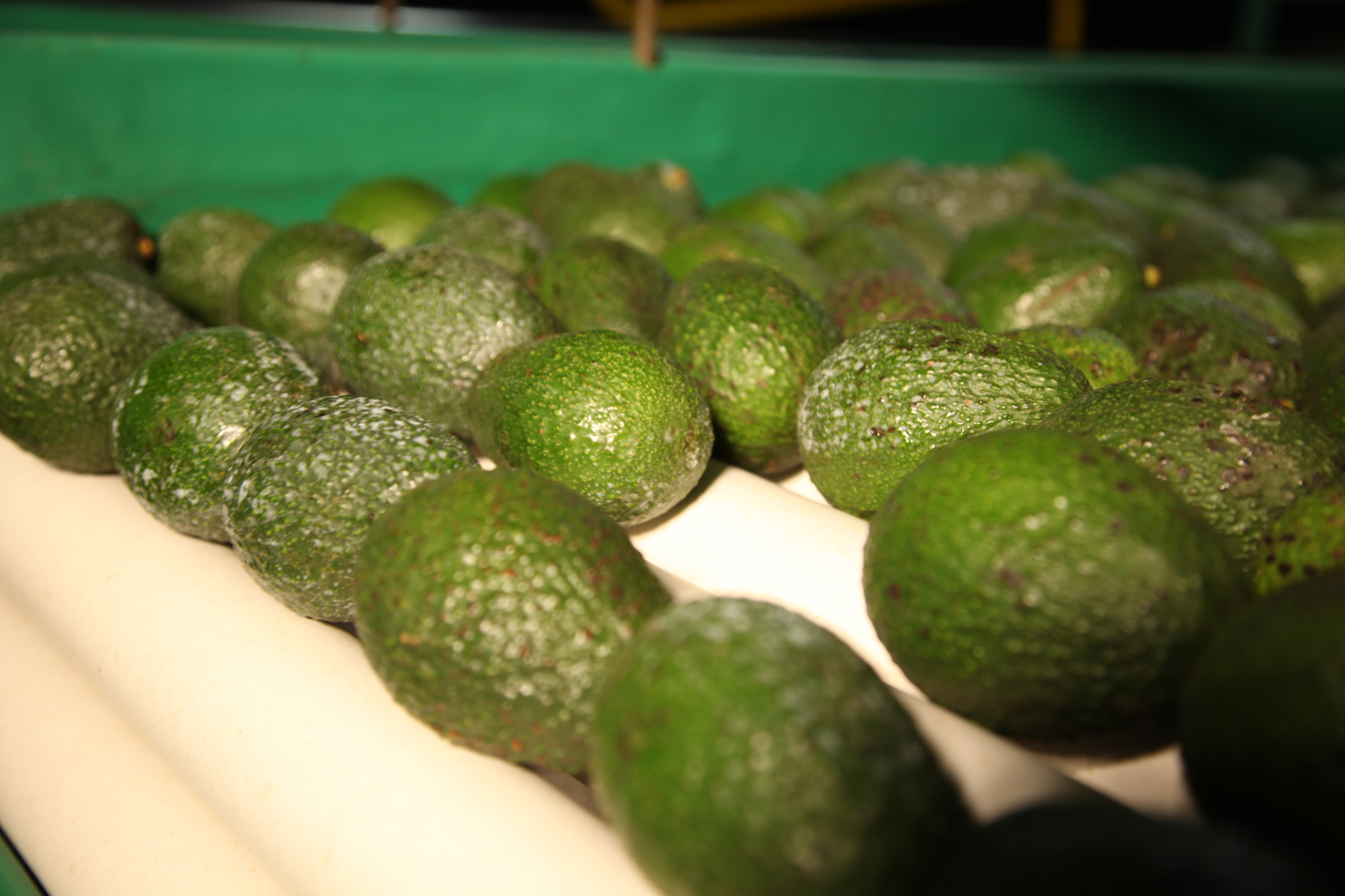 Aguacate00006