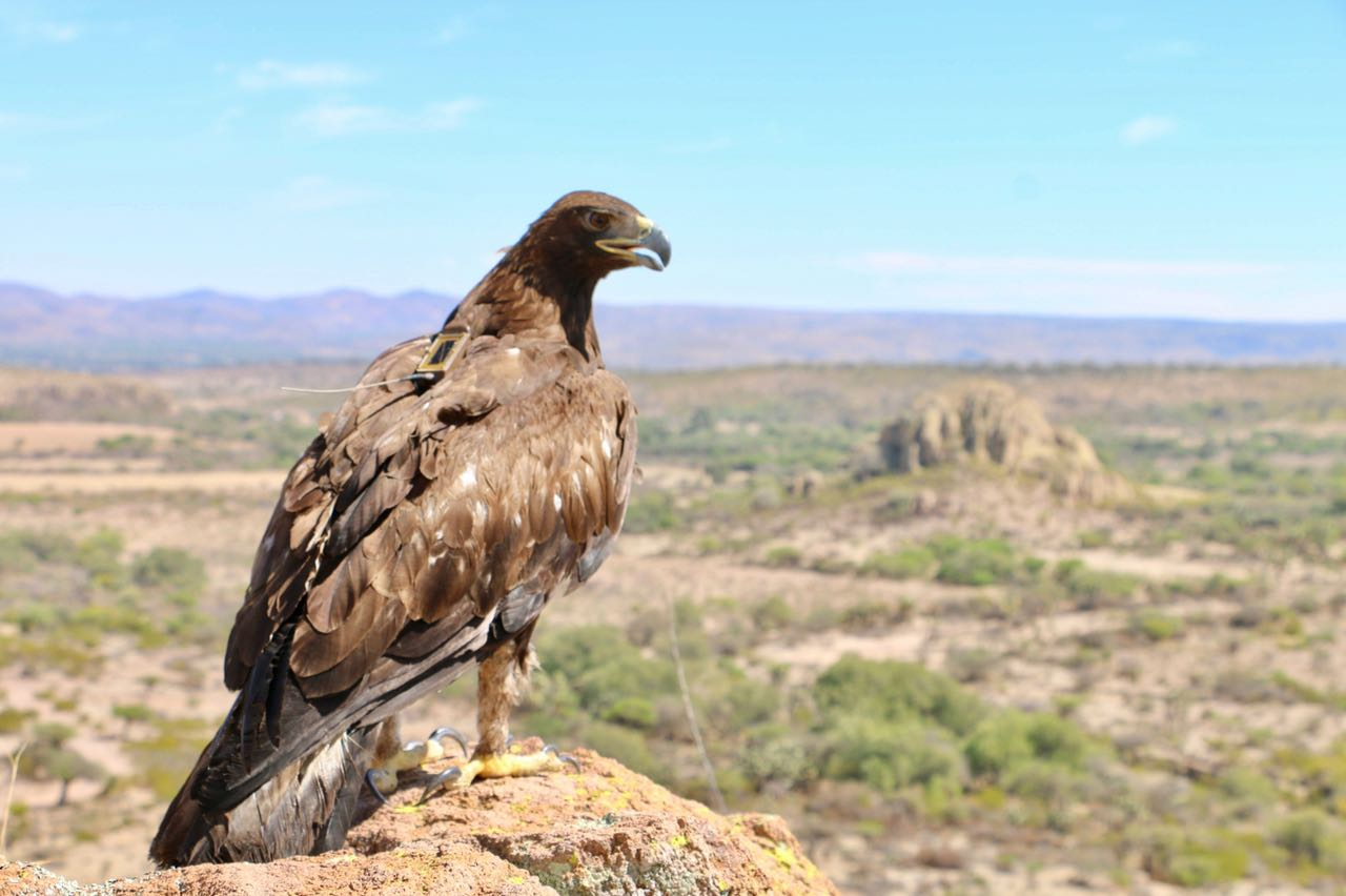 Águila Real (Aquila chrysaetos )
