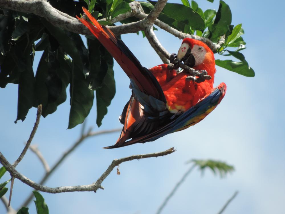 Guacamaya Roja (Ara macao)