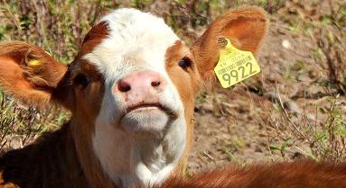 ganado bovino con arete amarillo