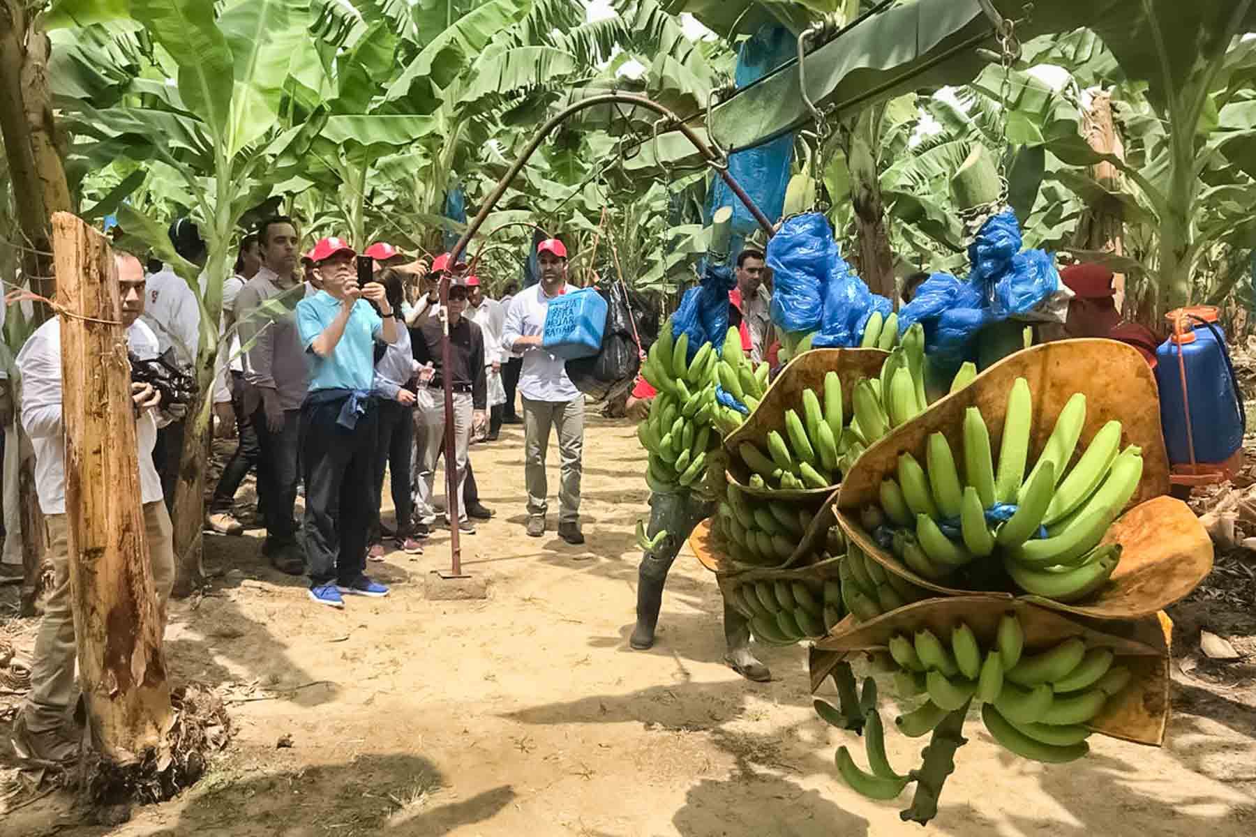 En su visita a México, los funcionarios chinos recorrieron una planta de plátano en Tabasco