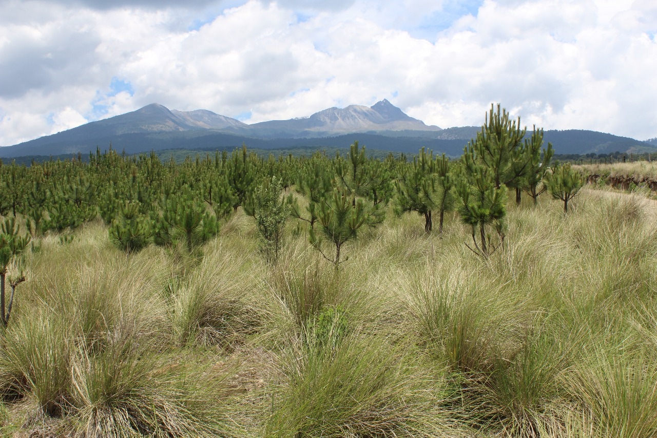 Reforestaci n 2018 se har con 145 millones de rboles for Viveros forestales conafor