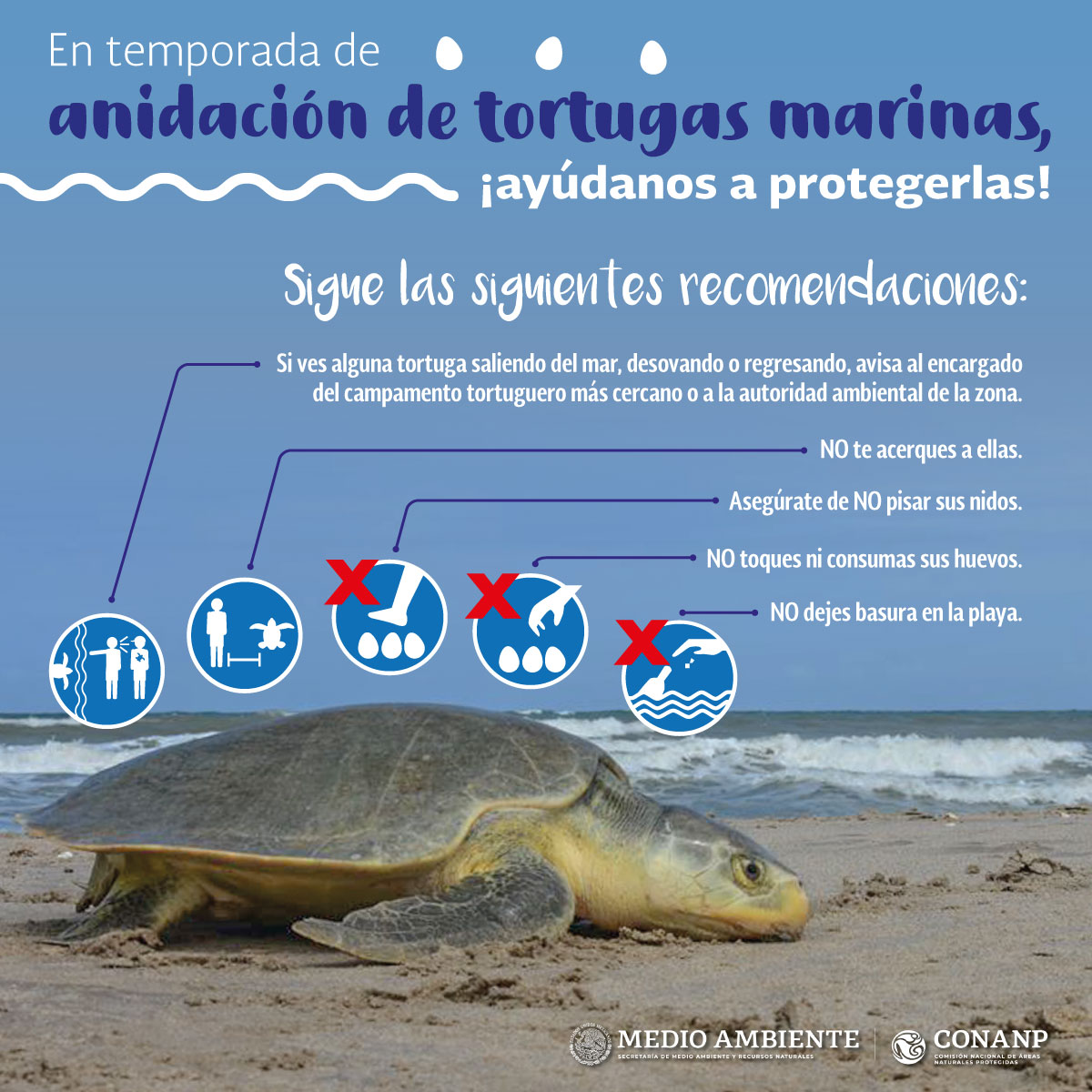 Turtles in Cancun: when to see spawn and release turtles on the beaches of Cancun 1