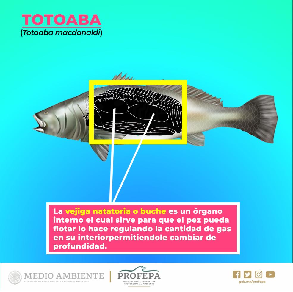 /cms/uploads/image/file/542533/TOTOABA3.jpg