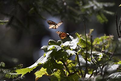 Mariposas monarca 1jpg