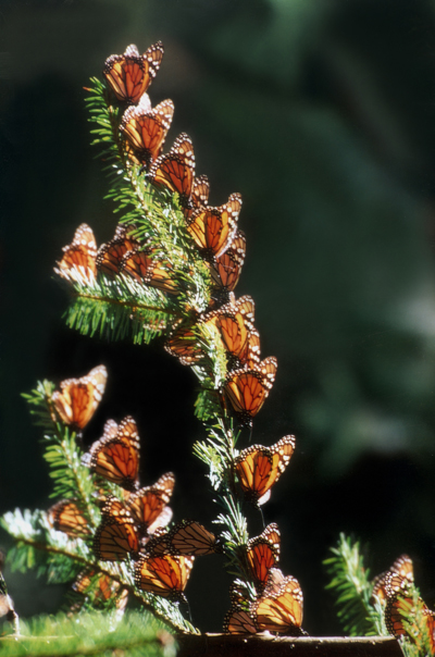 Mariposas monarca 2jpg