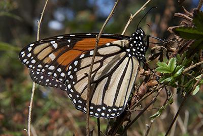 Mariposas monarca 3jpg