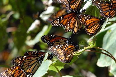 Mariposas monarca 6jpg