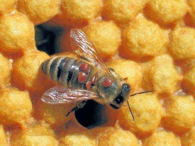 /cms/uploads/image/file/649004/varroa.jpg