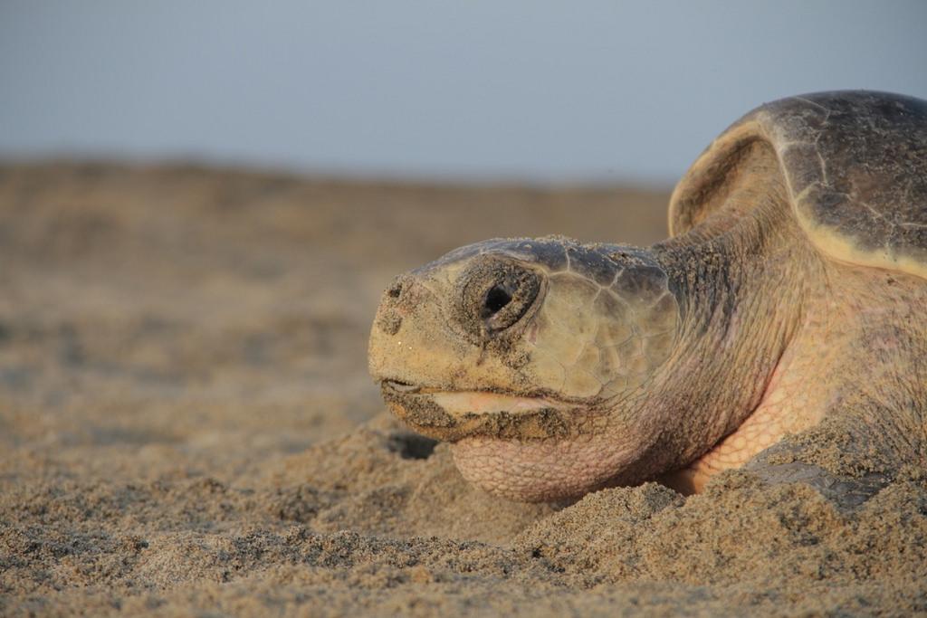 Tortuga Golfina (Foto: Secretaría de Medio Ambiente y Recursos Naturales).