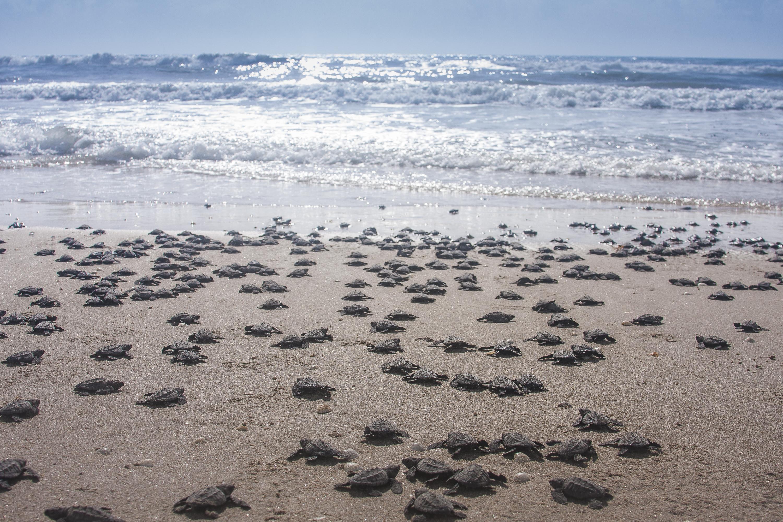 Crias hacia el mar. (Foto: Secretaría de Medio Ambiente y Recursos Naturales)