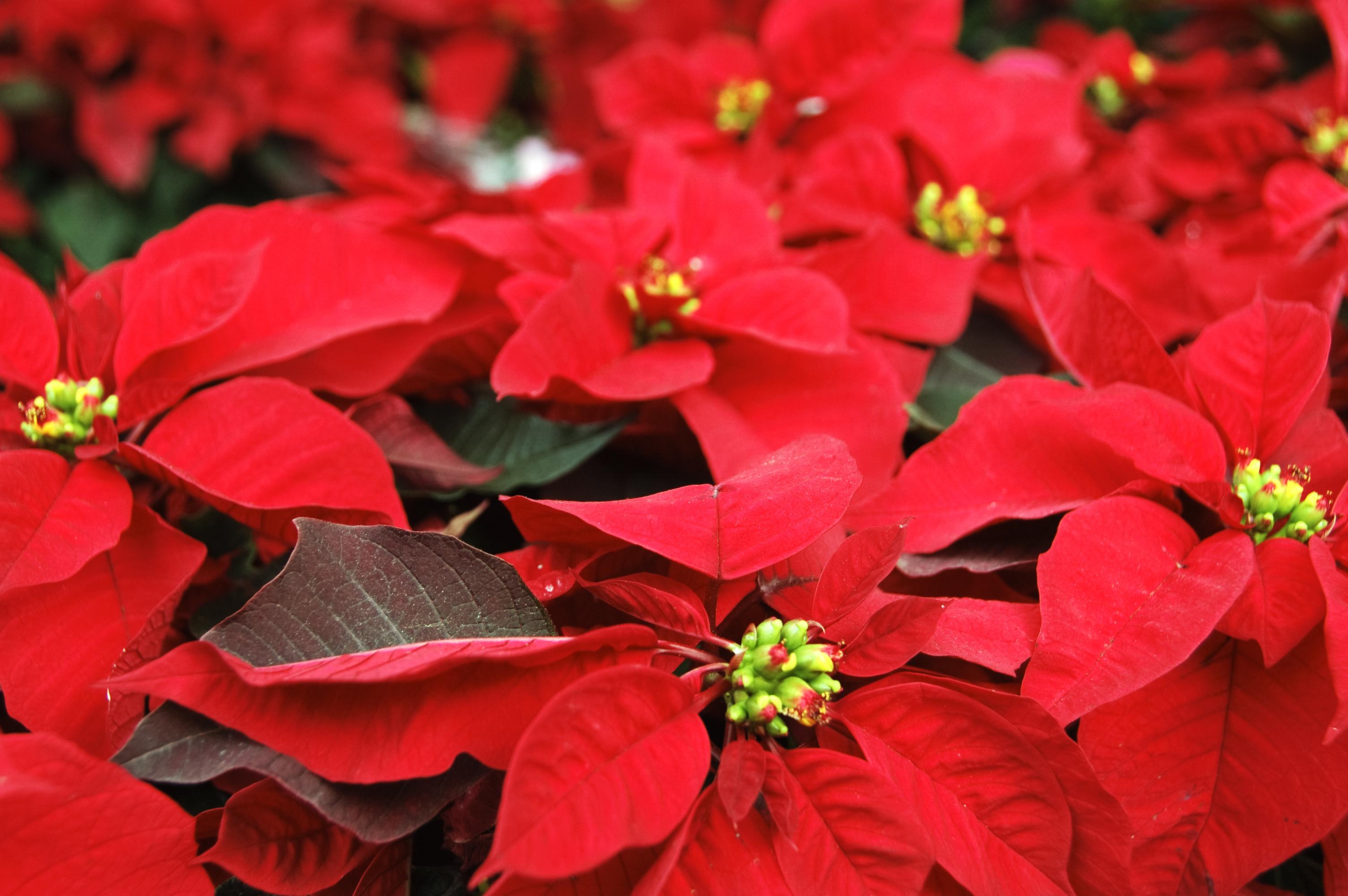 Nochebuena, flor de la Navidad (Foto: Presidencia de la República)