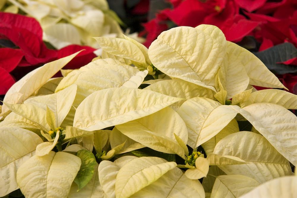 Flor de Noche Buena. Existen diversas variedades de Noche Buena. Foto: Presidencia de la República