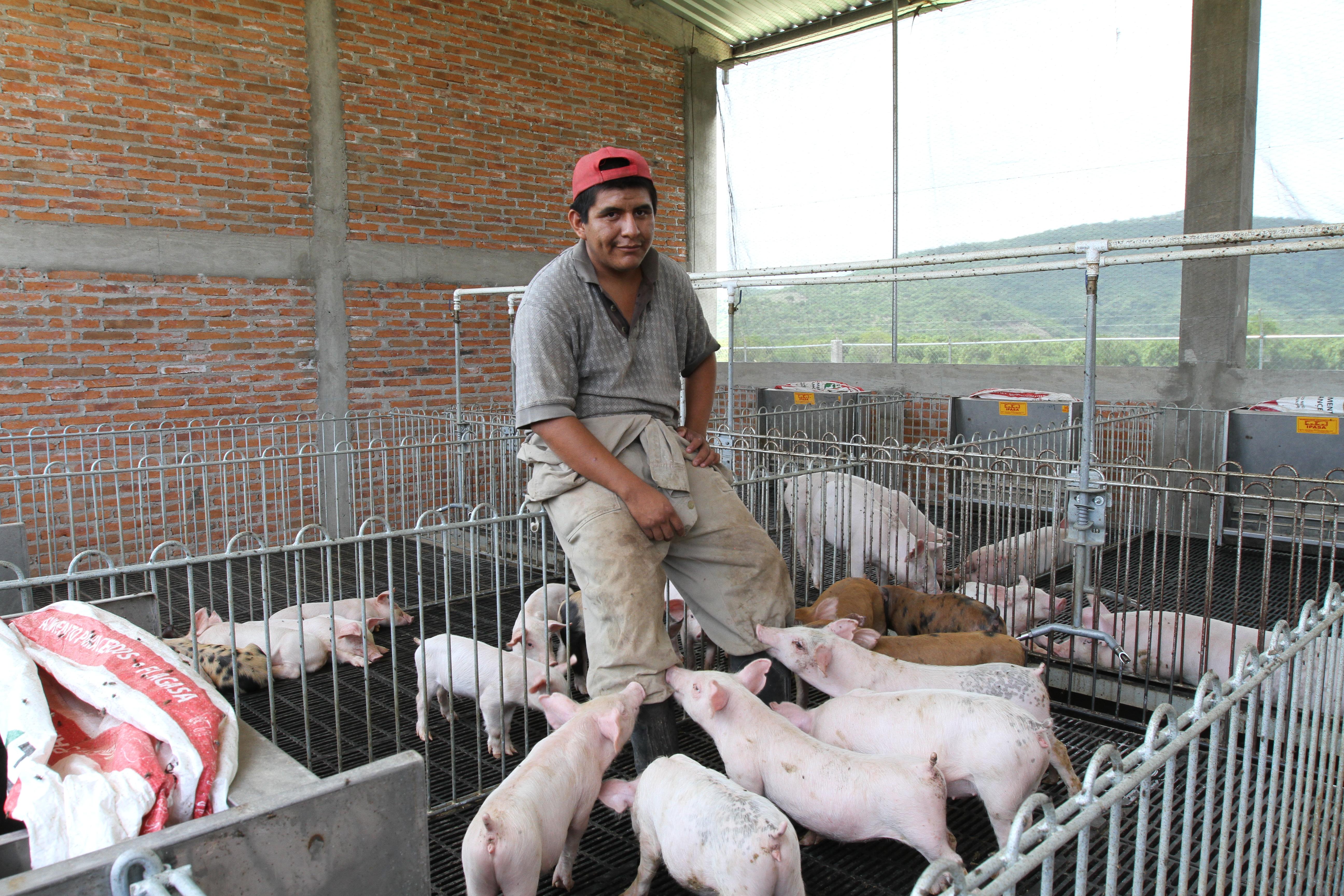 En la imagen, un joven del estado de Guerrero cuida a los cerdos de su granja porcina luego de que fuera beneficiado por el Programa  de Apoyo a Jóvenes Emprendedores Agrarios de la SEDATU.