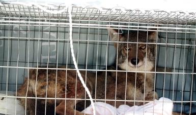 PROFEPA rescató un ejemplar de vida silvestre comúnmente nombrado Coyote (Canis latrans), el cual se encontraba resguardado en la Fundación Patitas, ubicada en el municipio de Zacatlán, Puebla.