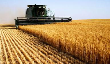 Boletín mensual de avance de la producción de trigo grano