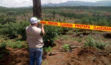 OPERATIVO DE PROFEPA, DETECTA Y CLAUSURA 145 HECTÁREAS DE PLANTÍOS DE AGUACATE EN BOSQUES DE JALISCO