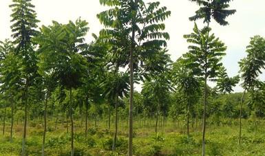 Alcanza 90% de sobrevivencia caoba producida en semillero de Quintana Roo