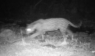 Este avistamiento constituye el 8° registro documentado de esta especie en el estado de Chihuahua