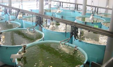 La tendencia de producción de especies pesqueras de los mares a nivel mundial y en México es a la estabilización de los volúmenes, por lo que las políticas públicas del Gobierno de la República están encaminadas al fortalecimiento de la acuacultura.