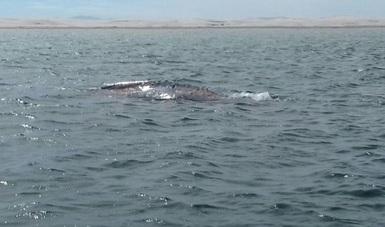 En el Complejo Lagunar Ojo de Liebre nacen el 90% de los ballenatos de esta especie del planeta