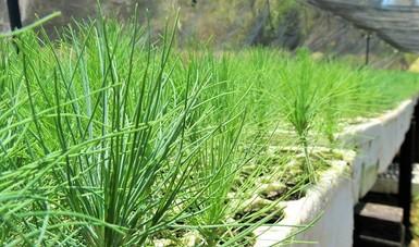 Producirá Nayarit 4.8 millones de planta de clima templado frío