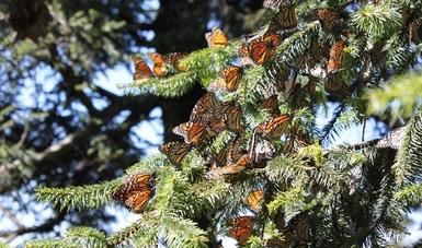 Conserva CONAFOR hábitat de la Mariposa Monarca