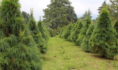 Esperan productores de EDOMEX comercializar 500 mil árboles de navidad naturales