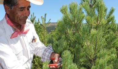 Estiman productores comercializar 700 mil árboles de Navidad naturales
