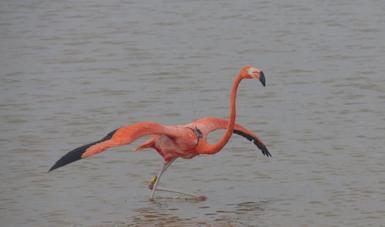 Principal zona de anidación del flamenco del Caribe en México, corresponde a los humedales costeros de la Reserva de la Biosfera de Ría Lagartos