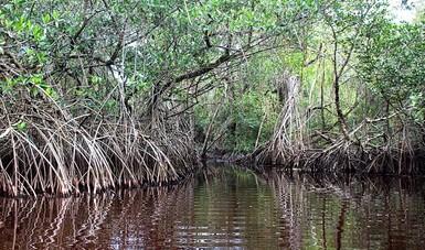 Destina CONAFOR 49.3 mdp para restauración de manglar en Veracruz